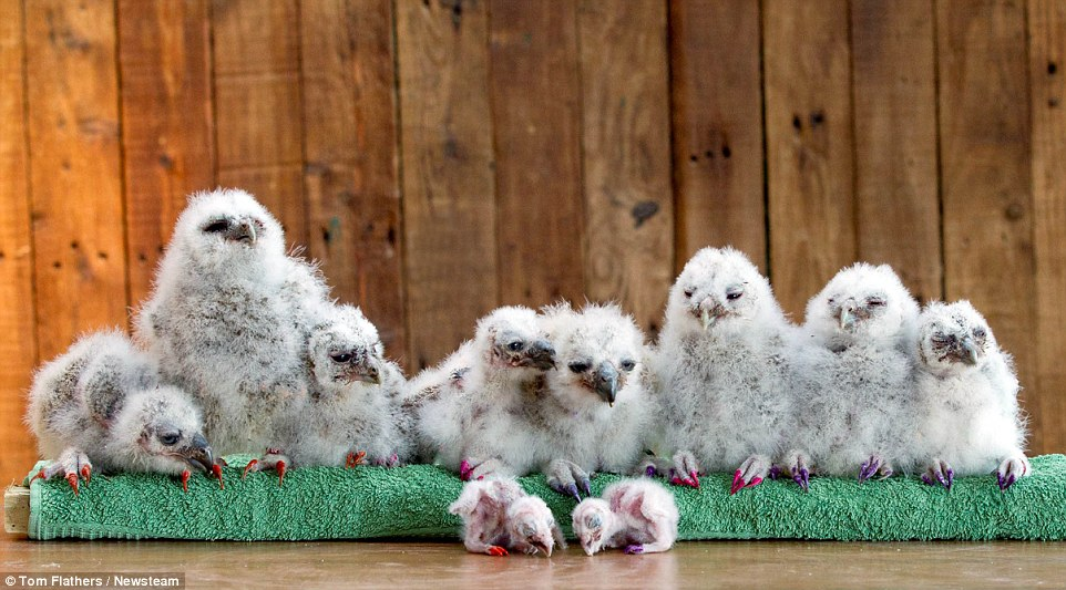 tom-owl3