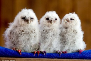 tom-owl4