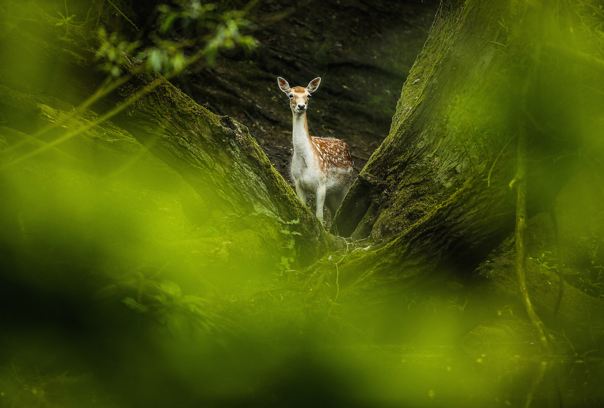 SWNS Pictures of the Year 2015 - One hundred of the most compelling images on the SWNS wire this year as chosen by our picture editors. A fallow deer roams woodland at Wentworth Castle today. Deer are free to roam the grounds of Wentworth Castle, Dodworth, Barnsley. Tom Maddick / Rossparry.co.uk