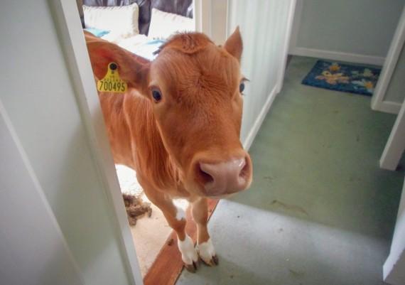 Cow pat Pat