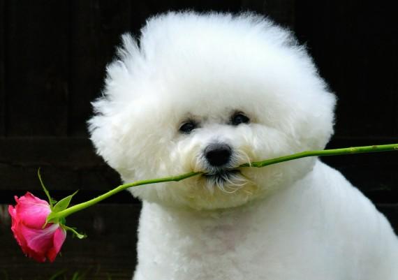Bichon Frisé Flower