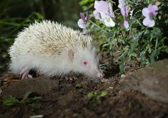 Albino Hedgehog