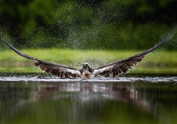 Osprey spray