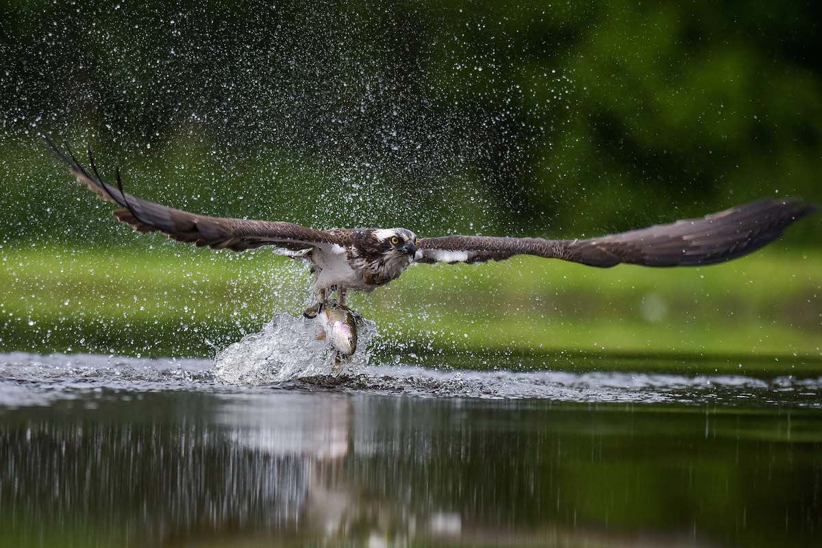 An Osprey is pictured with a Trout that it caught at a fishery on the Rothiemurcus Estate in Aviemore, Scotland on June 23 2015.