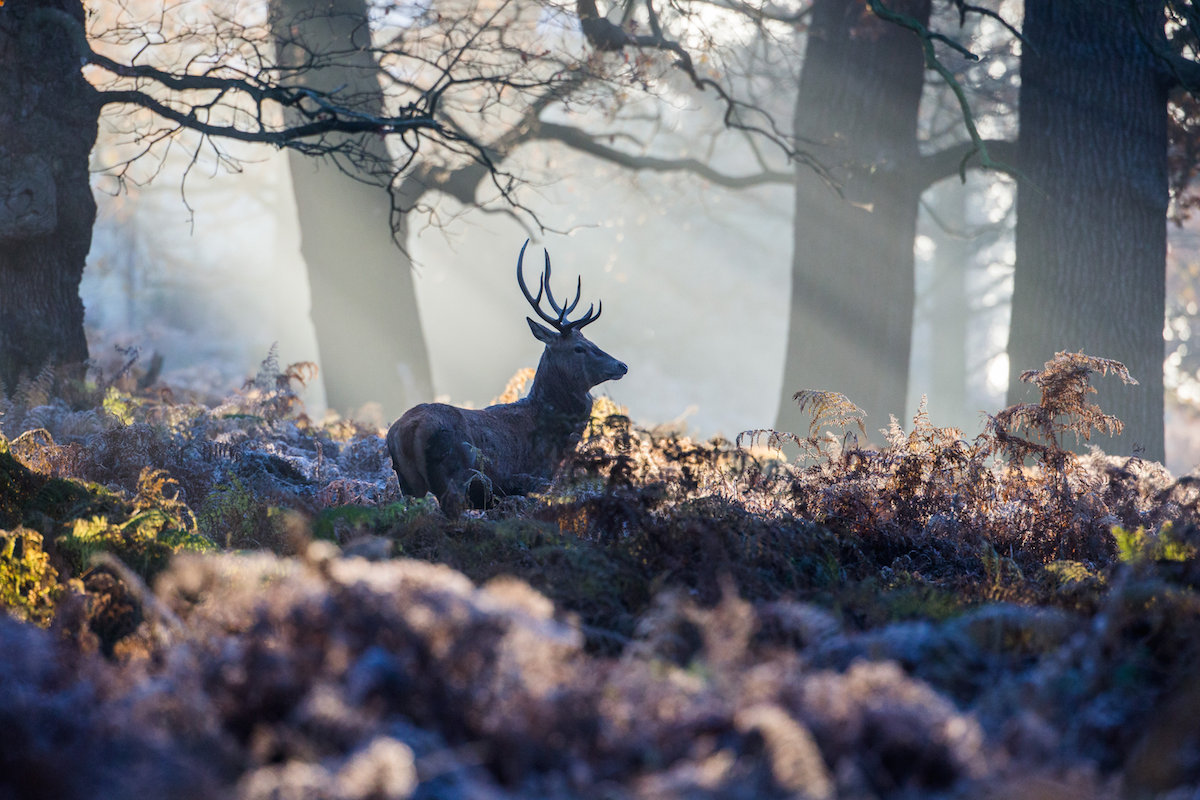 Deer can be seen on a cold frosty morning in Richmond Park, London. 29 November 2016.
